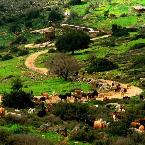 .עיזים רועות באחו בחלב עם הרוח בגליל. צילום: טל גליק