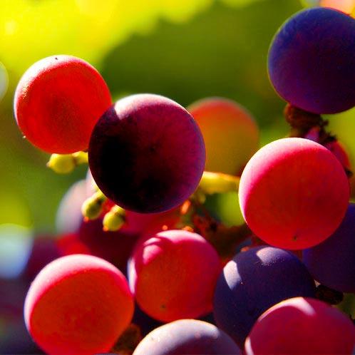 .ענבים בכרם של חוות חלב עם הרוח בגליל, המשמשים לייצור היין במקום. צילום: טל גליק